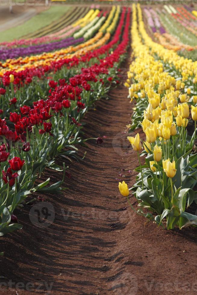 linhas de tulipas foto