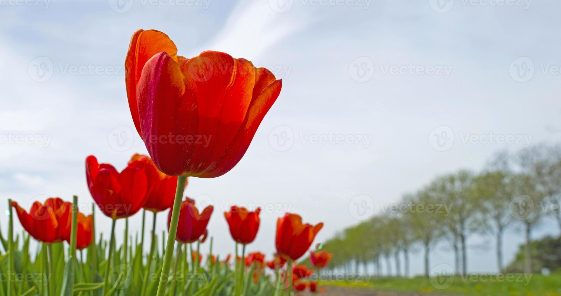 tulipas em um campo ensolarado na primavera foto