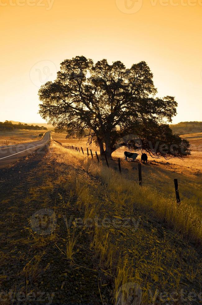 carvalho solitário e gado foto