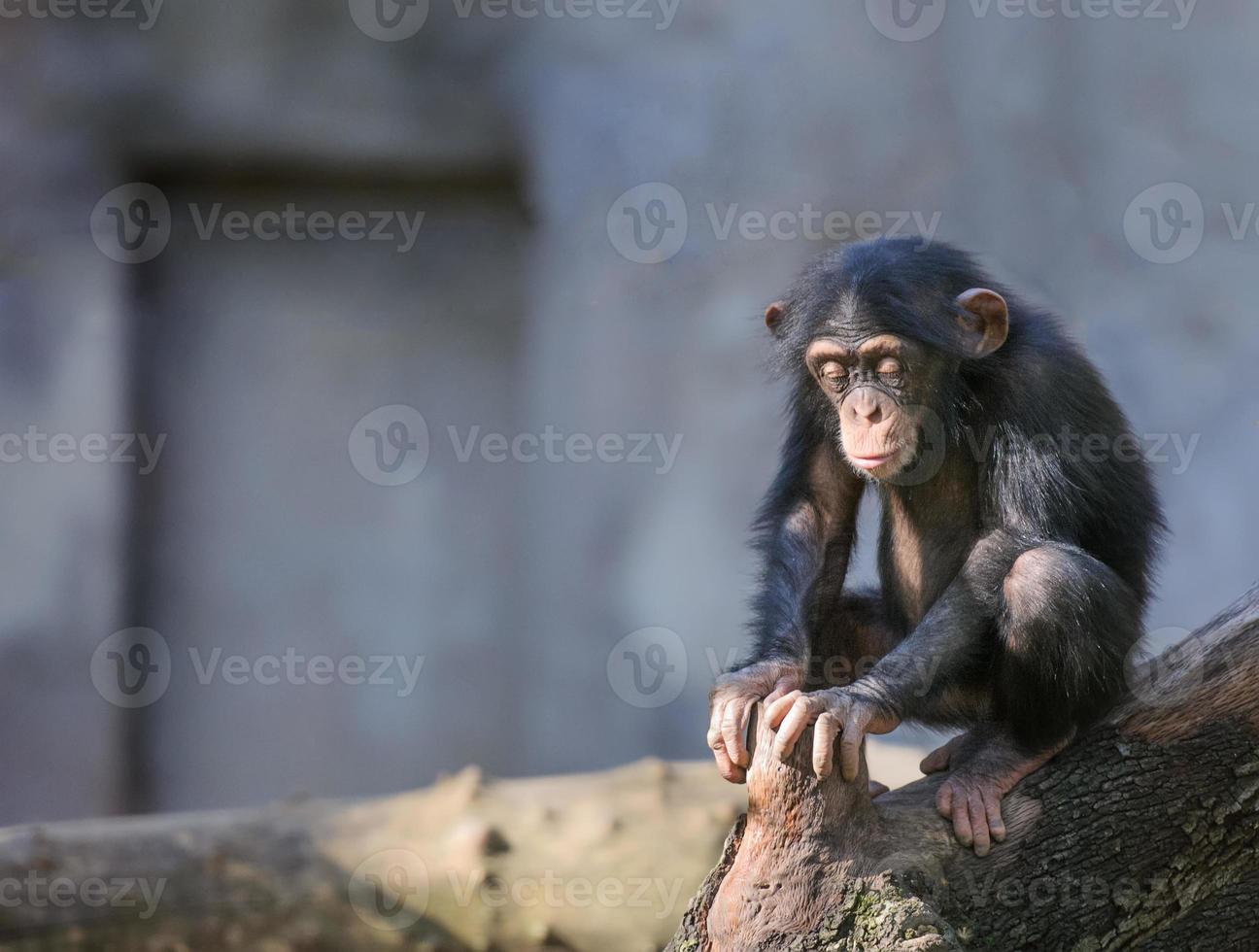pequeno chimpanzé em pensamentos profundos ou meditação foto
