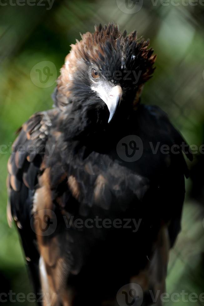 águia de cauda foto