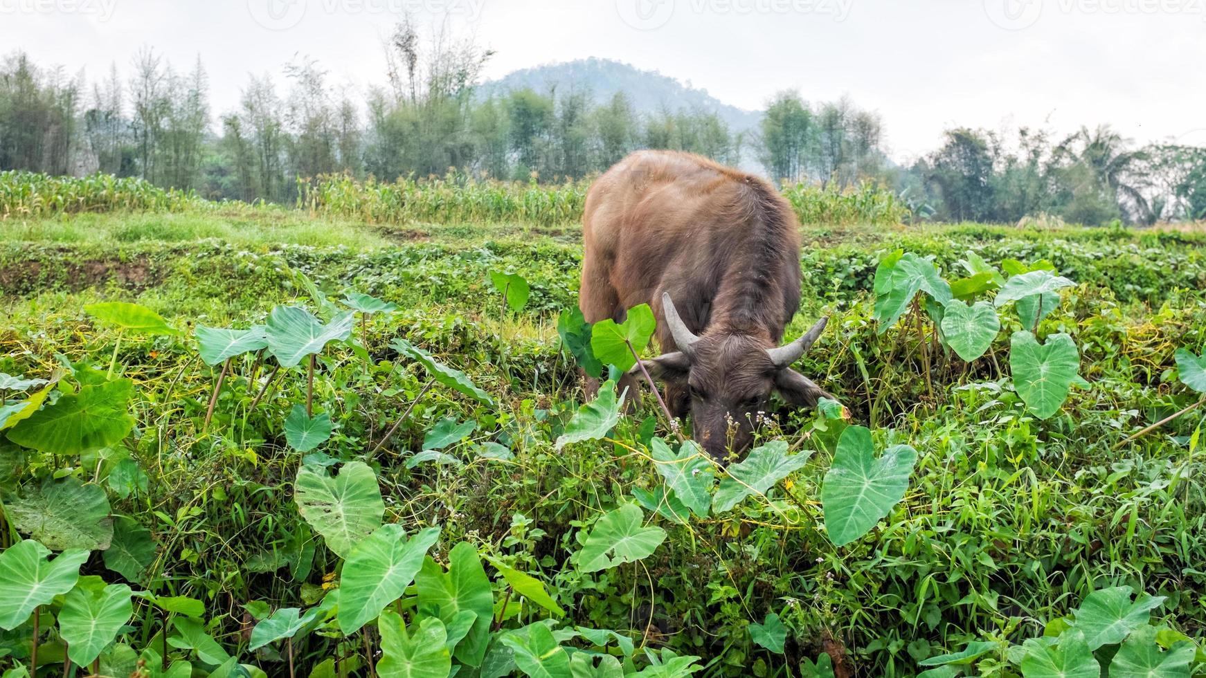 búfalo no campo da Tailândia foto