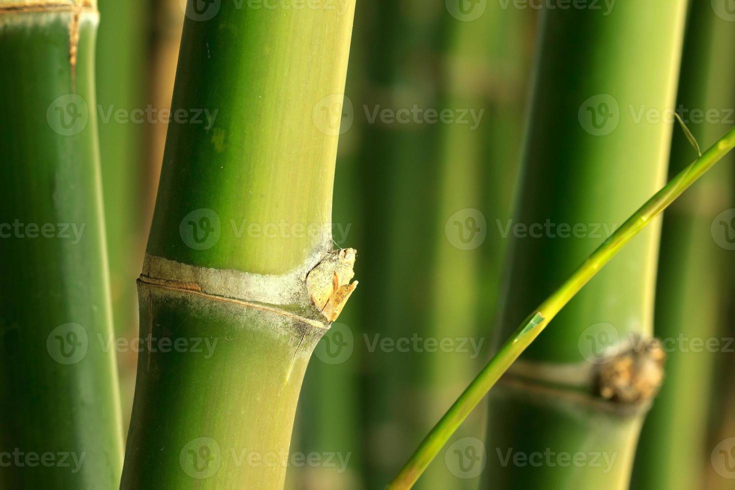 bambu foto