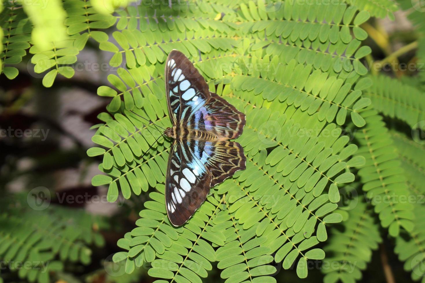 tosquiadeira borboleta - parthenos sylvia foto