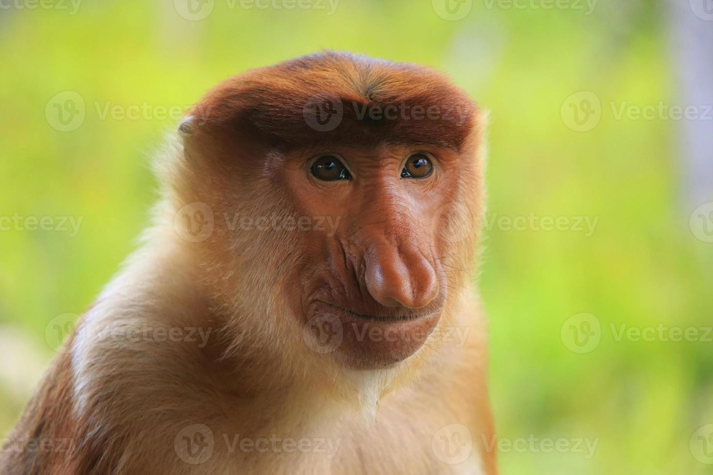 retrato, de, macaco narigudo, bornéu, malásia foto