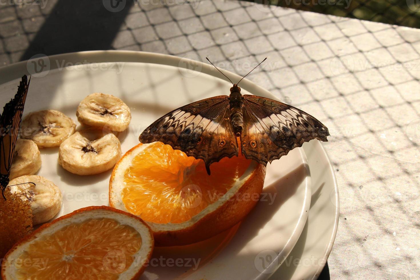 """borboleta """"malaio cruzador"""" - vindula dejone foto"""