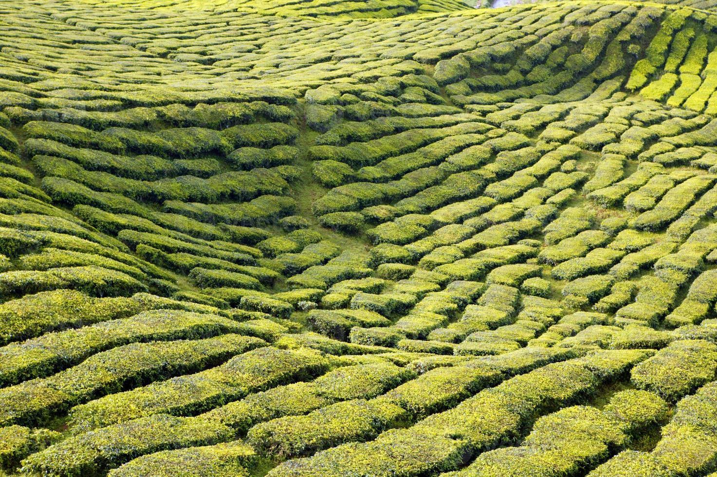 plantação de chá cameron highlands pahang malásia foto