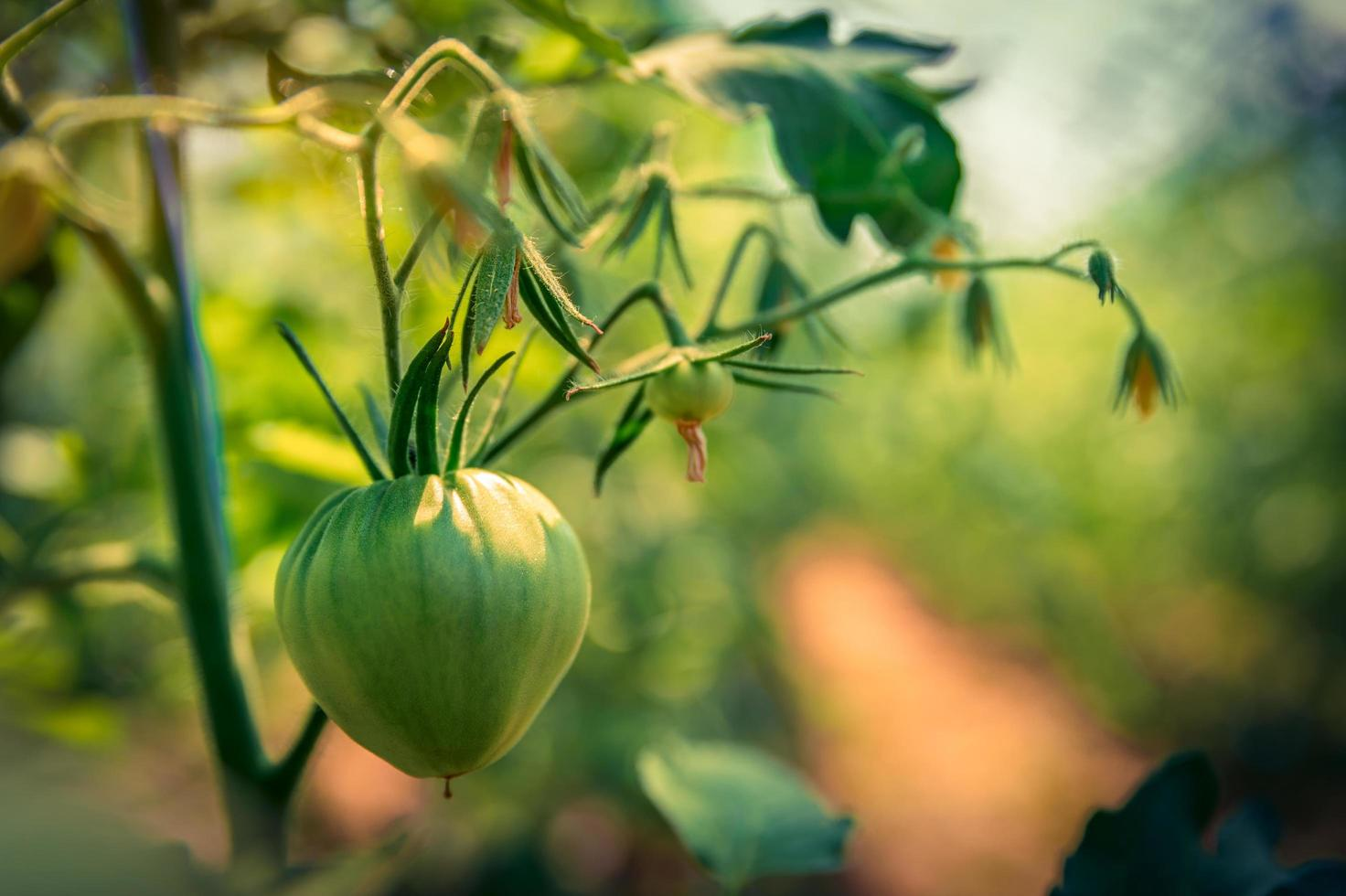 tomate orgânico amadurece na videira foto