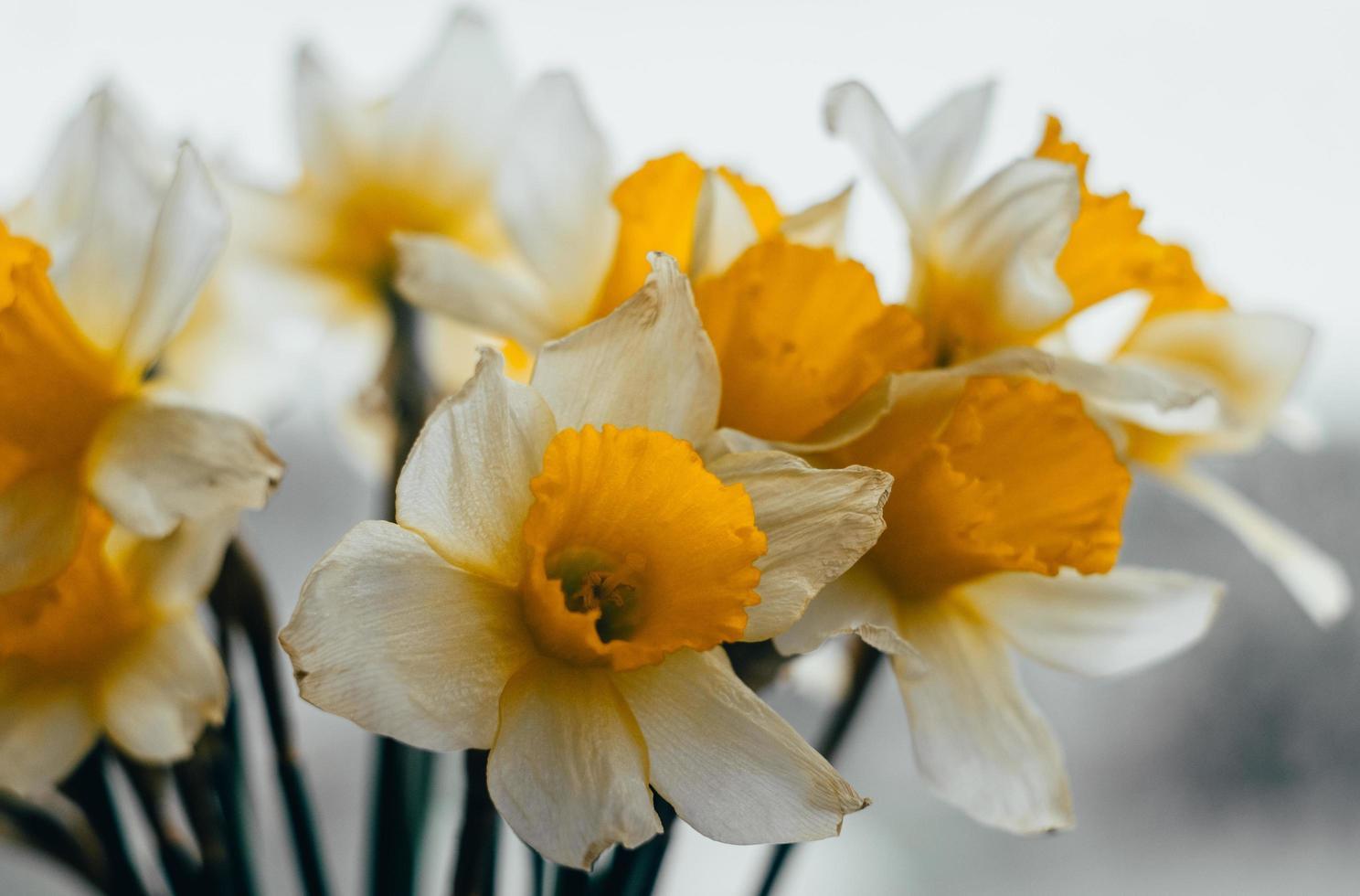 buquê de narcisos da primavera foto
