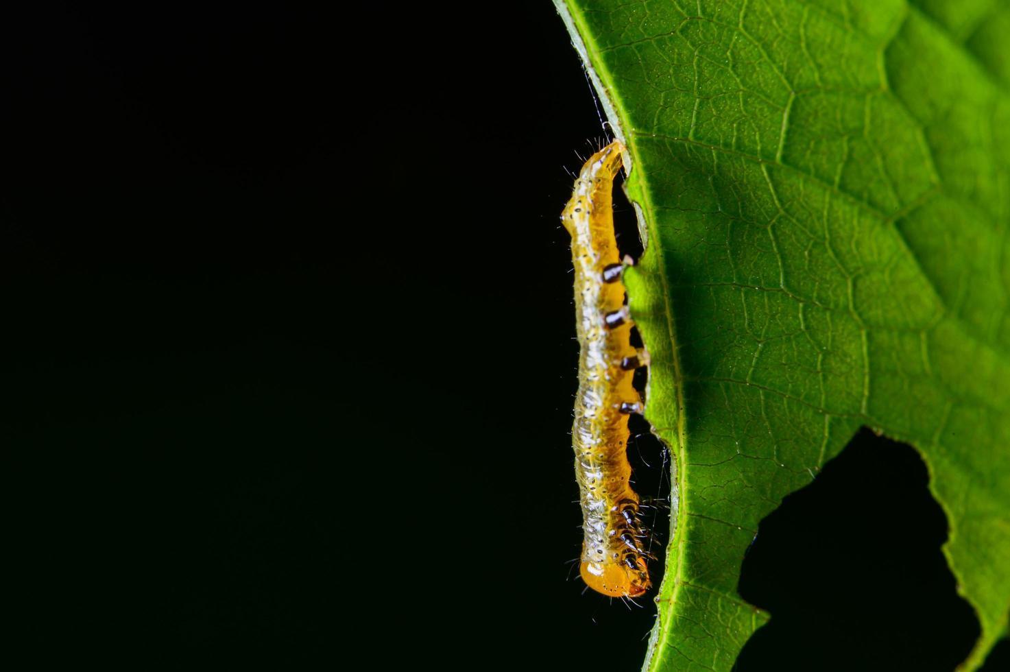 lagarta em uma folha foto