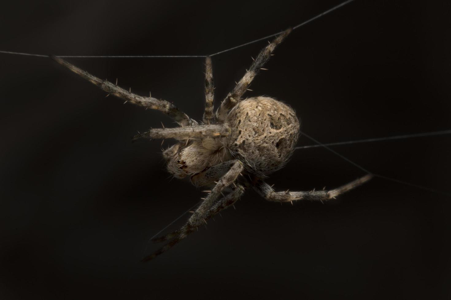 close-up de uma aranha de jardim foto