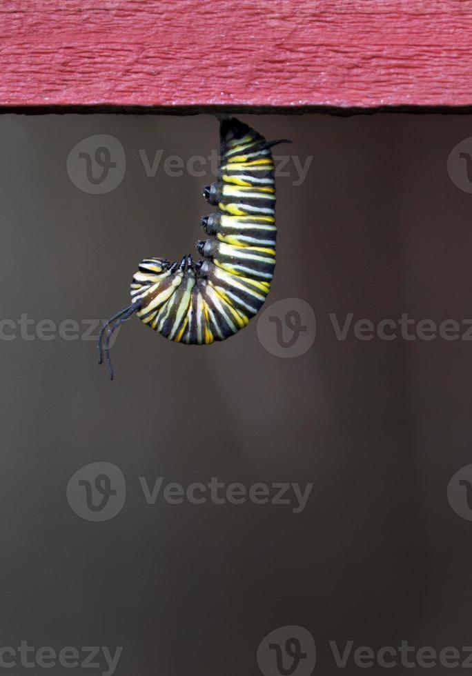 suspensão de lagarta monarca foto