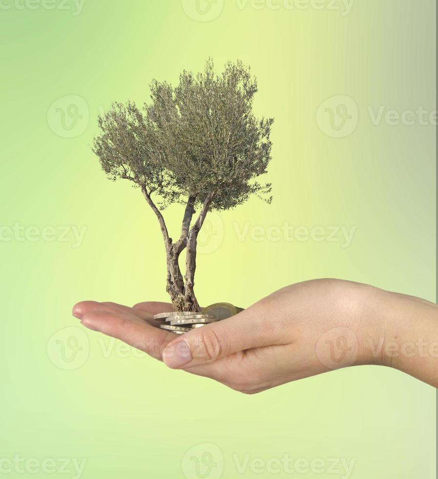 oliveira em palmeira de presente foto
