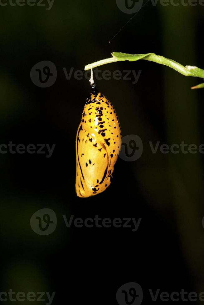 crisálida borboleta foto