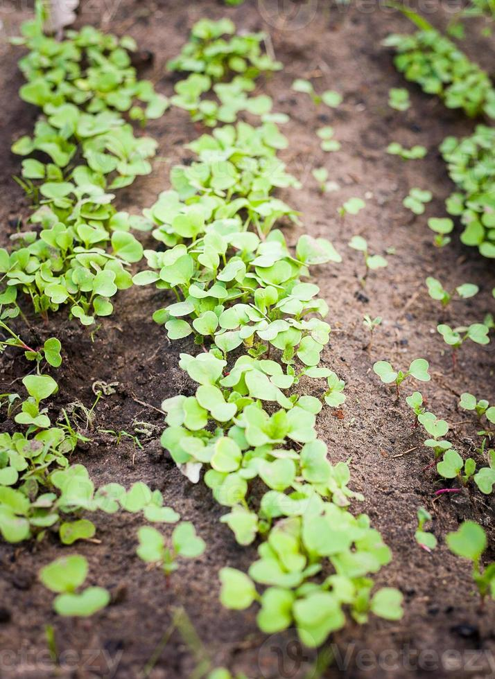 broto verde crescendo a partir de sementes foto