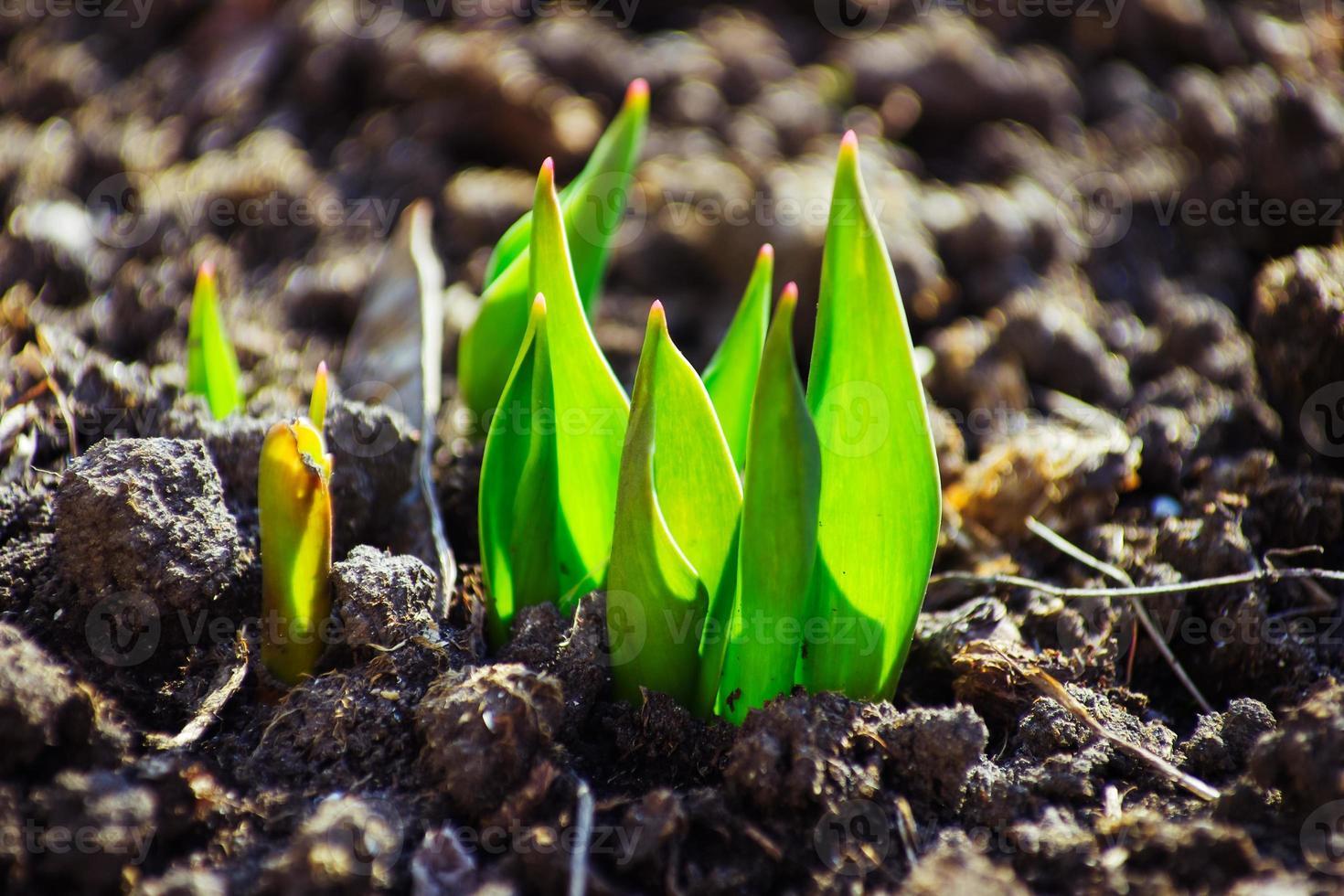 visão macro do broto crescendo a partir de sementes, conceito de primavera foto