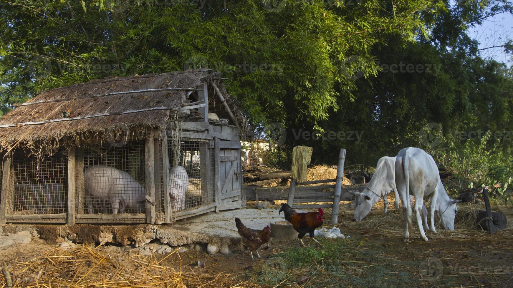 animais domésticos de fazenda em fazenda tradicional foto