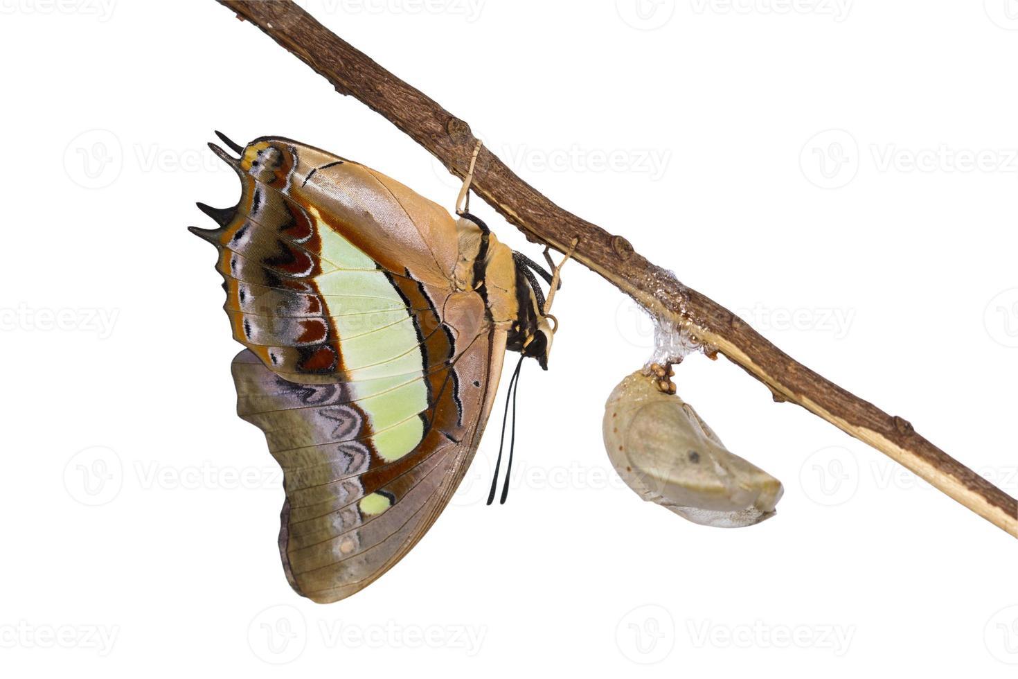 borboleta nababo emergir de pupa foto