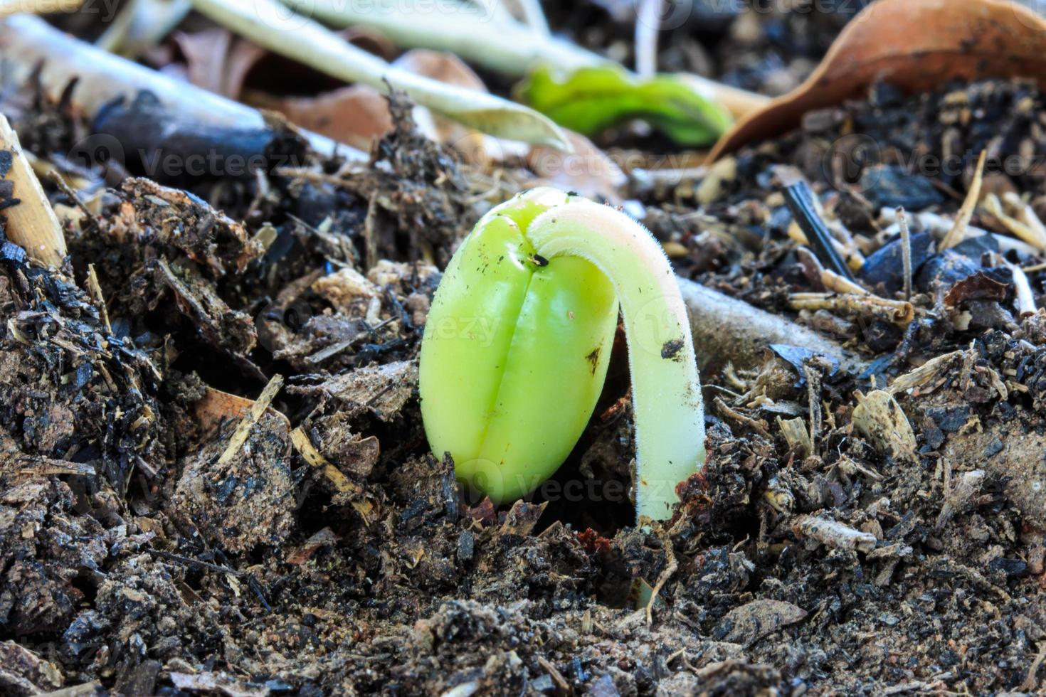 broto de semente de tamarindo que o agricultor cultiva para guardar foto