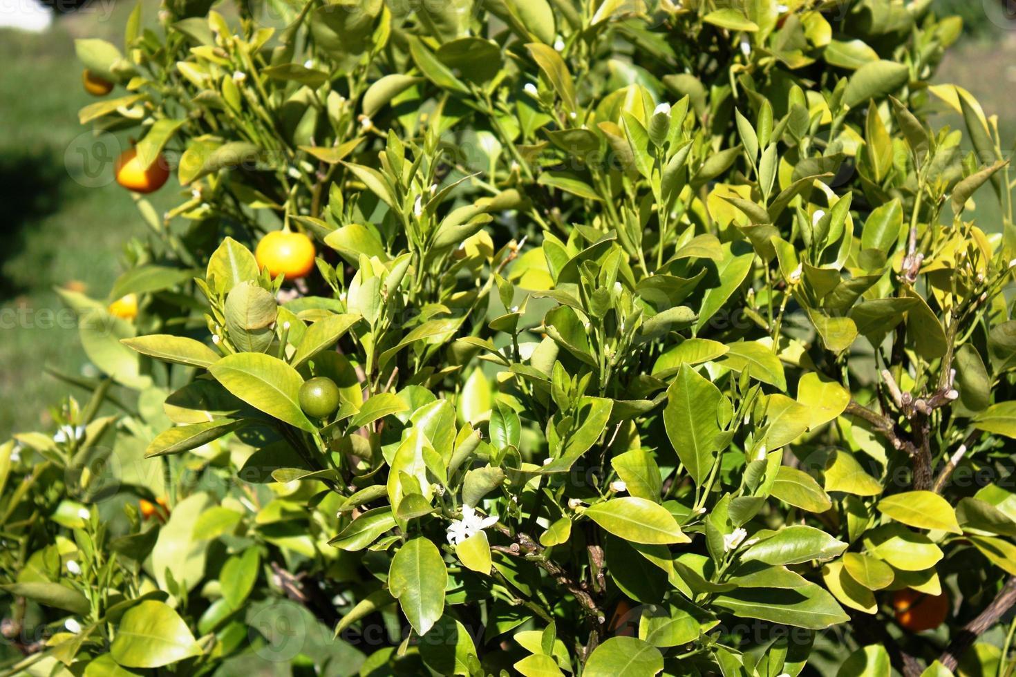 árvore kumquat com frutas e folhas no jardim foto