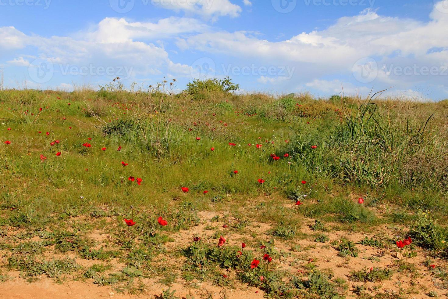prado primavera com desabrochar de flores de anêmonas vermelhas foto