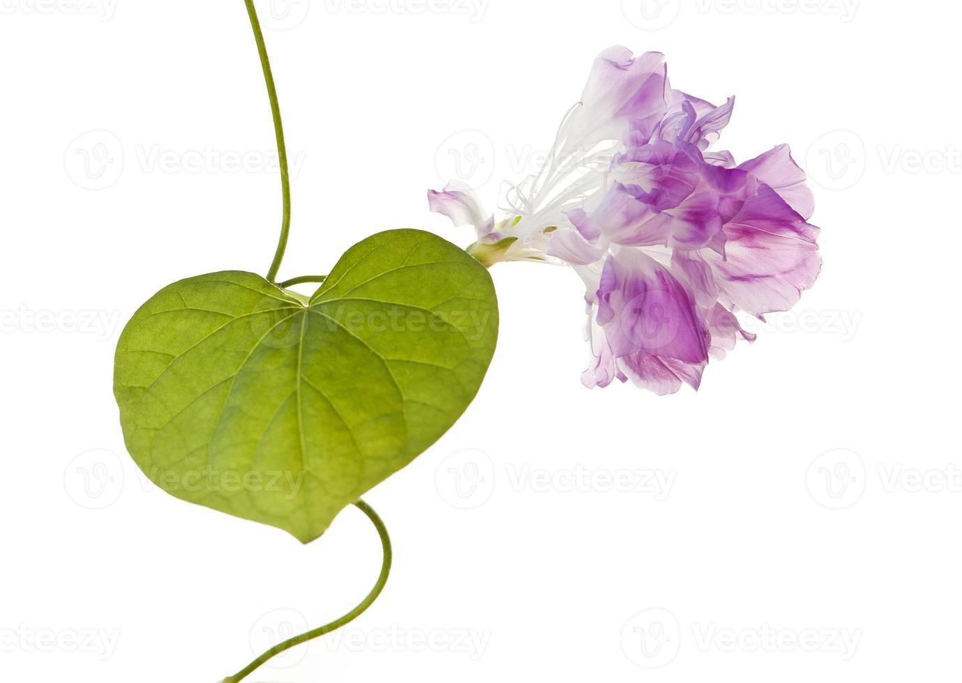 ipomoea nil, fração de segundo, folha em forma de coração e flor rosa foto