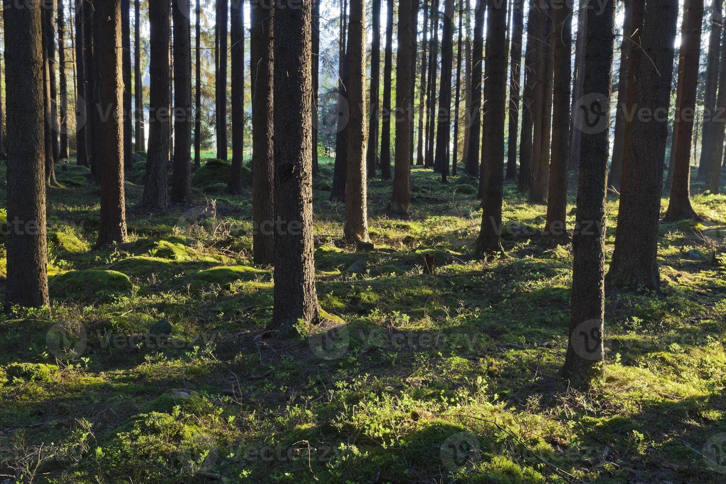 a floresta primitiva foto