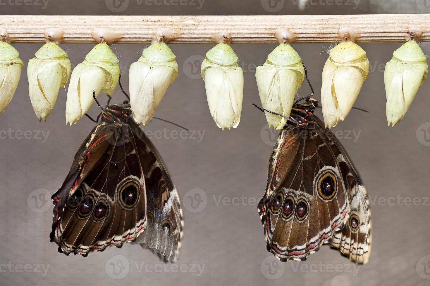 borboletas emergentes foto