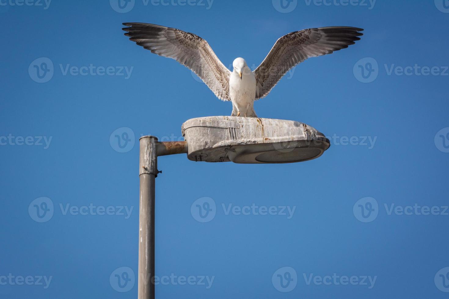 gaivota com asas abertas foto
