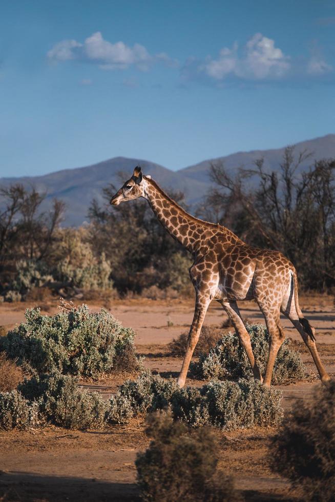 girafa caminhando na pastagem foto