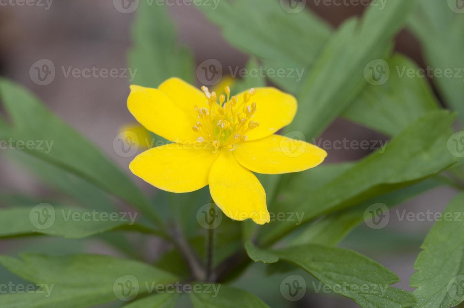 flores silvestres de anêmona foto