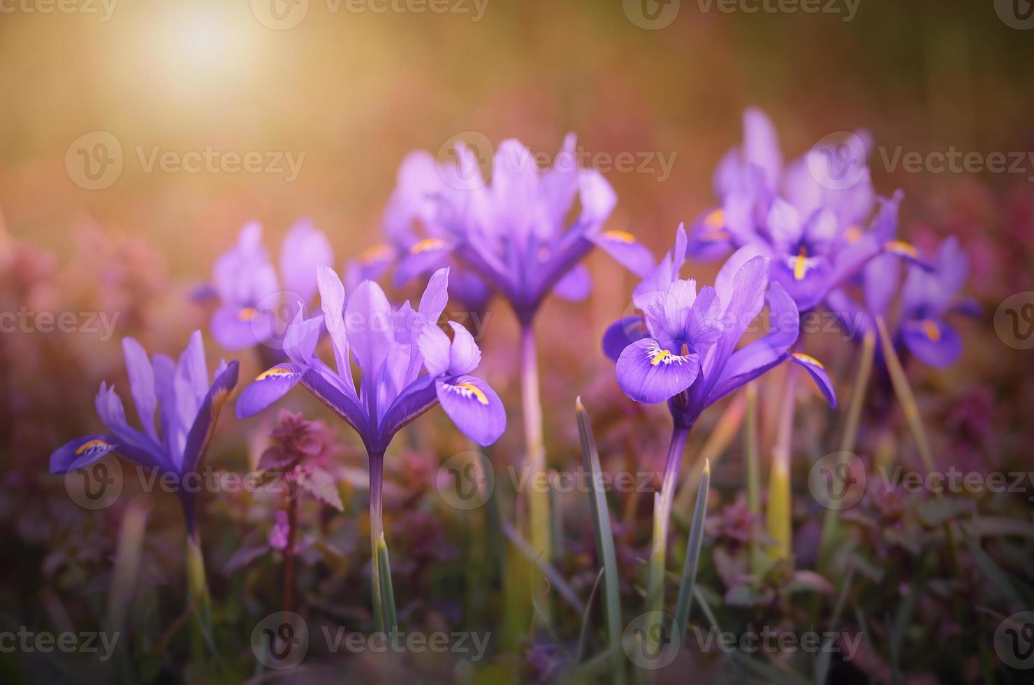 flor de íris desabrochando no início da primavera foto