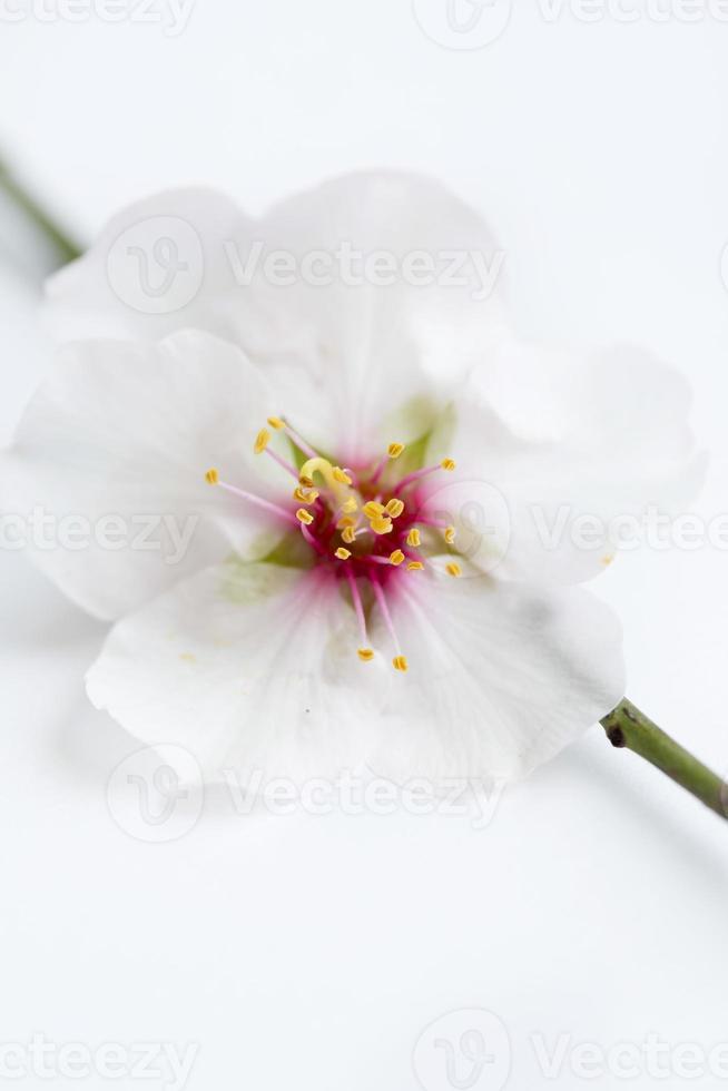 flores de amêndoa foto