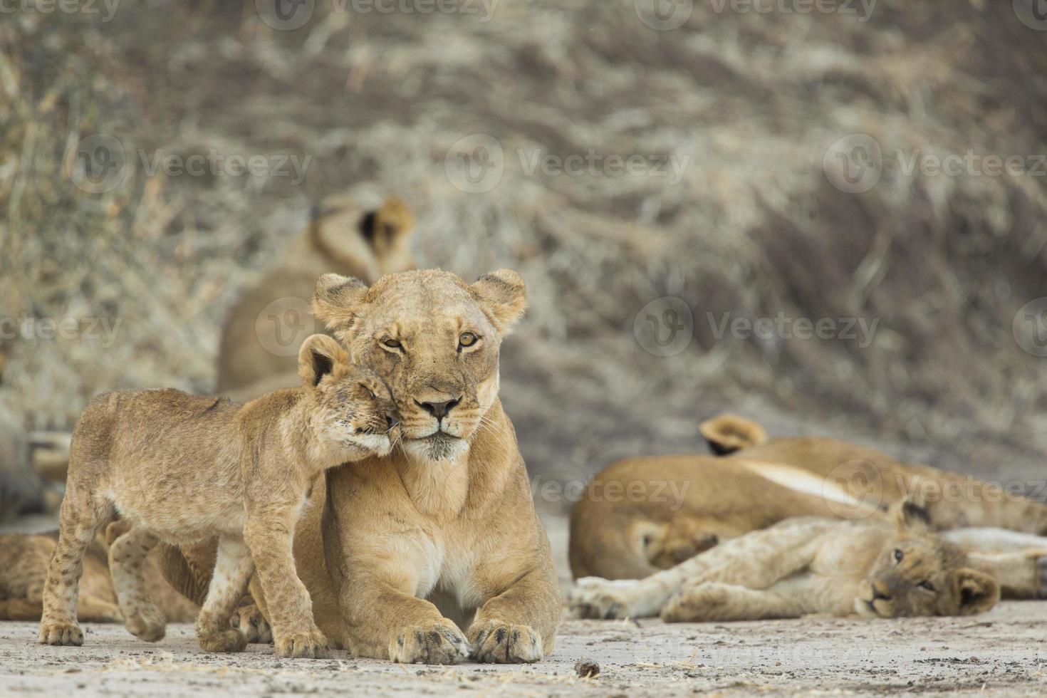 leoa (panthera leo) com filhote foto