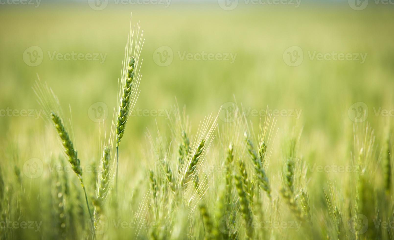verde, primavera, campo de trigo foto