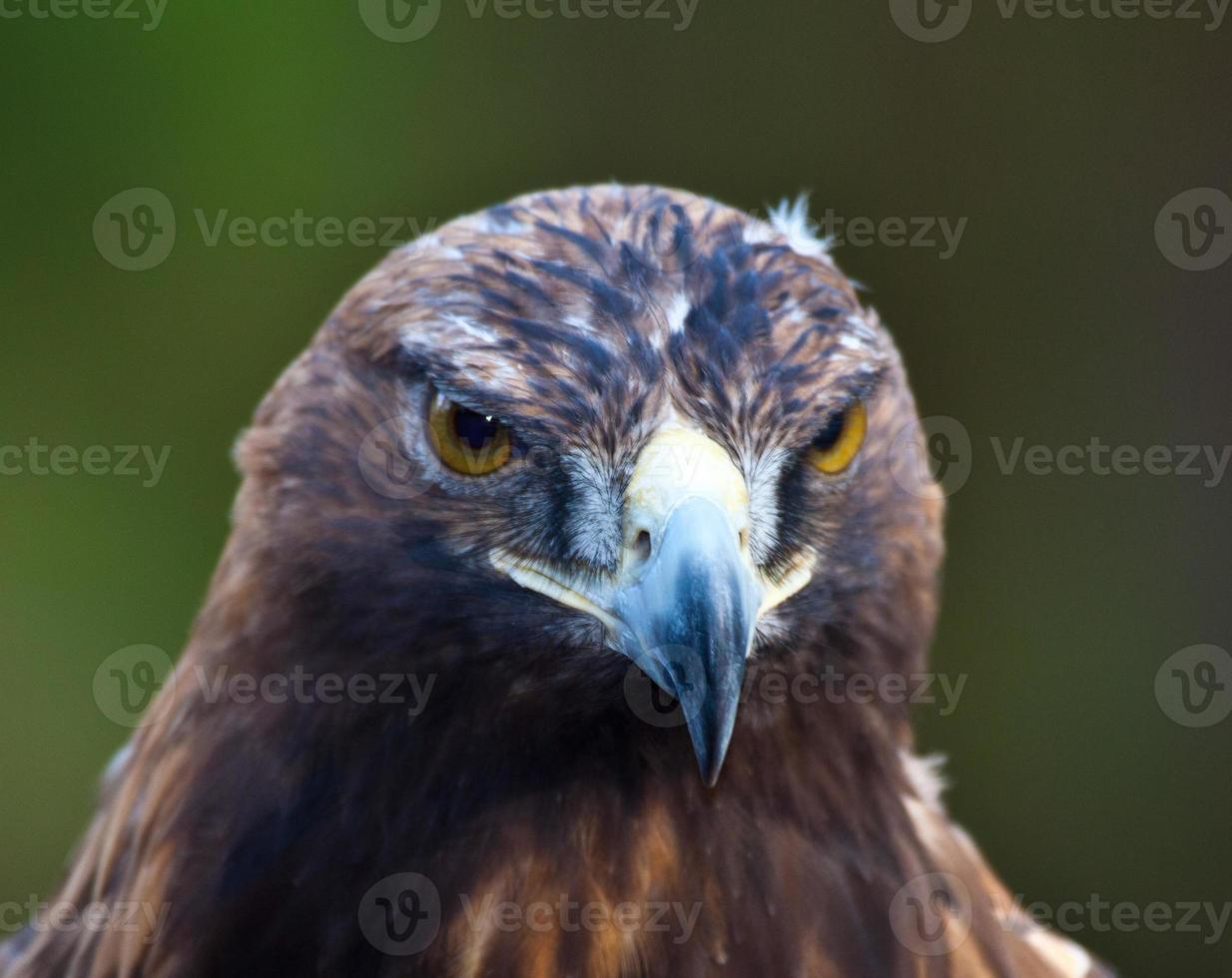 águia gritante foto