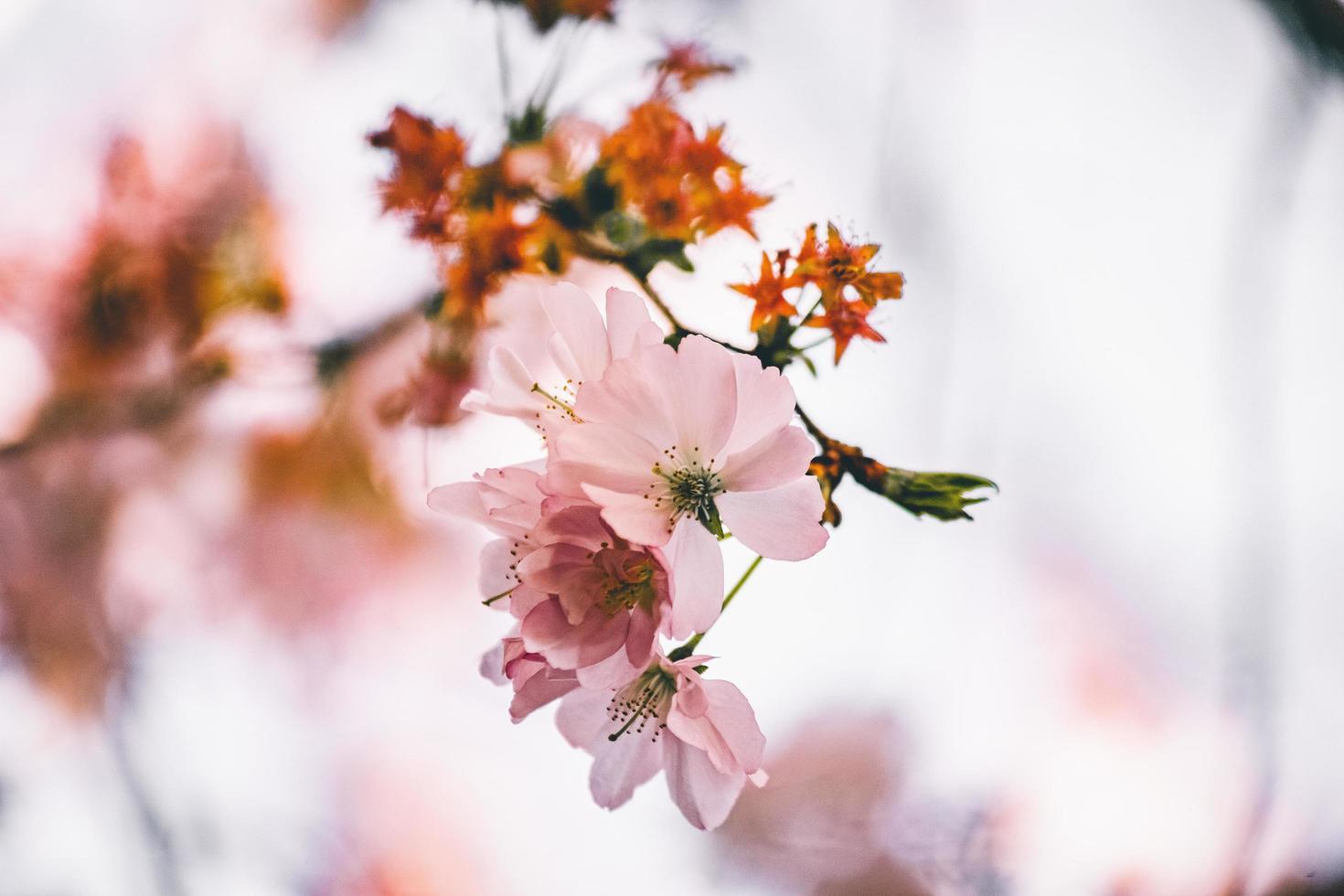 flores cor de rosa e brancas foto