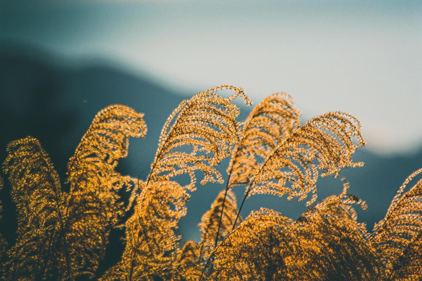 grama de trigo marrom foto