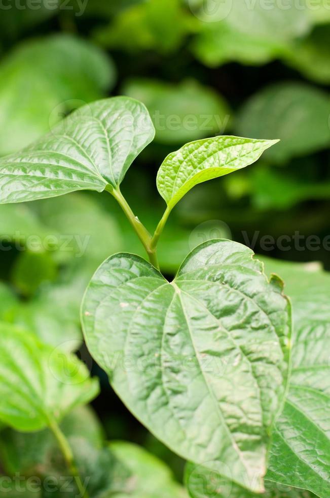 material. plantas medicinais tailandesas. (piper sarmentosum roxb.) foto