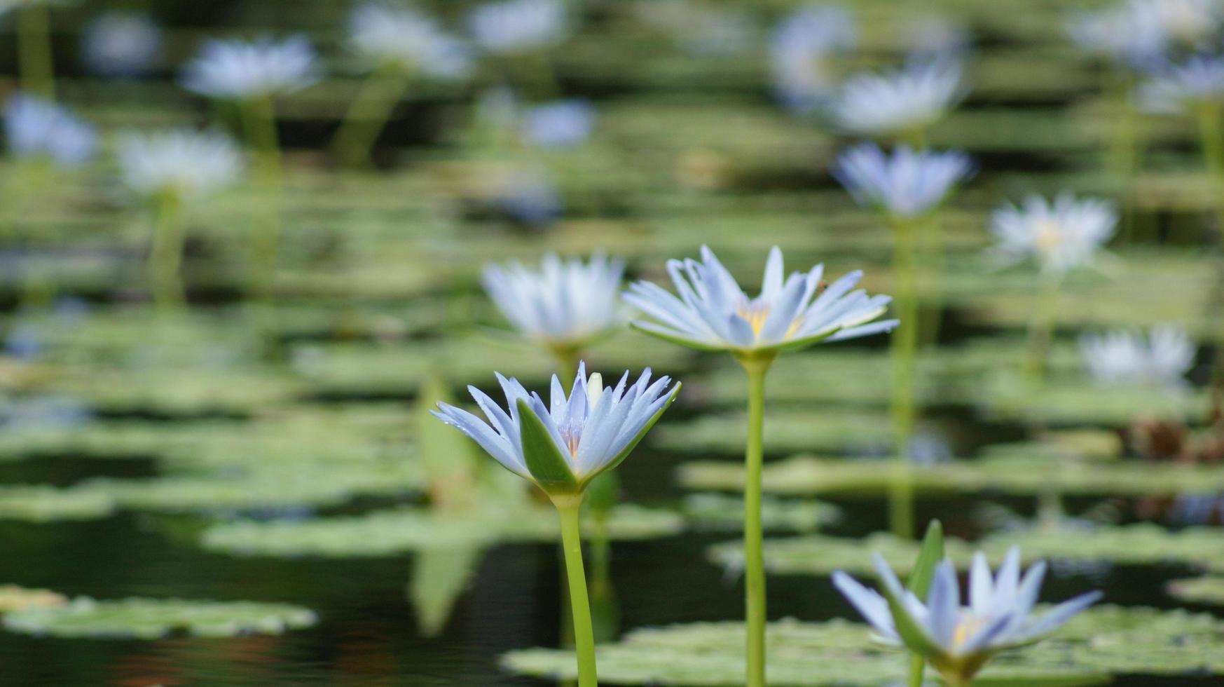vista de um lago de lírios com flores azuis foto