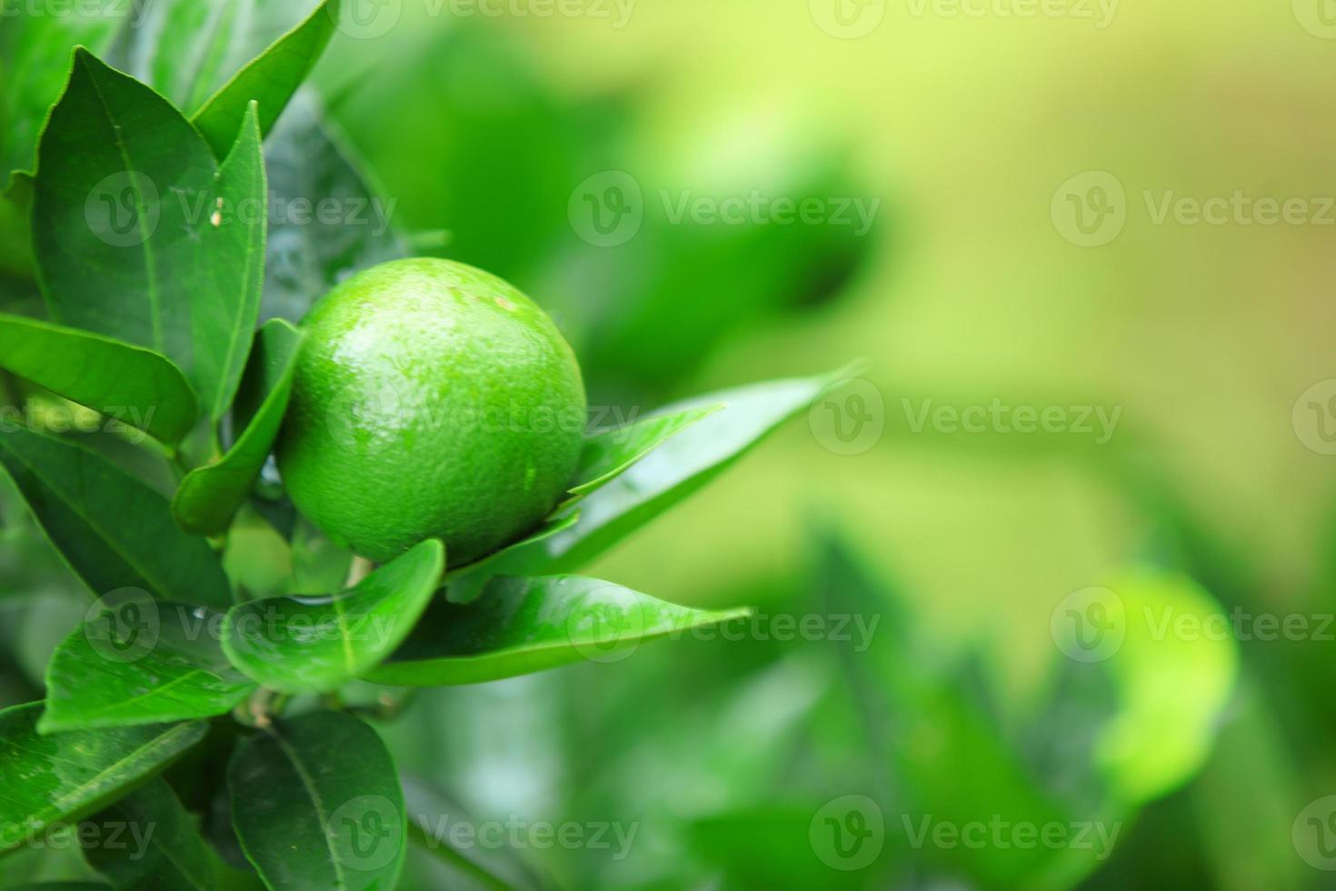 laranjas crescem na árvore foto