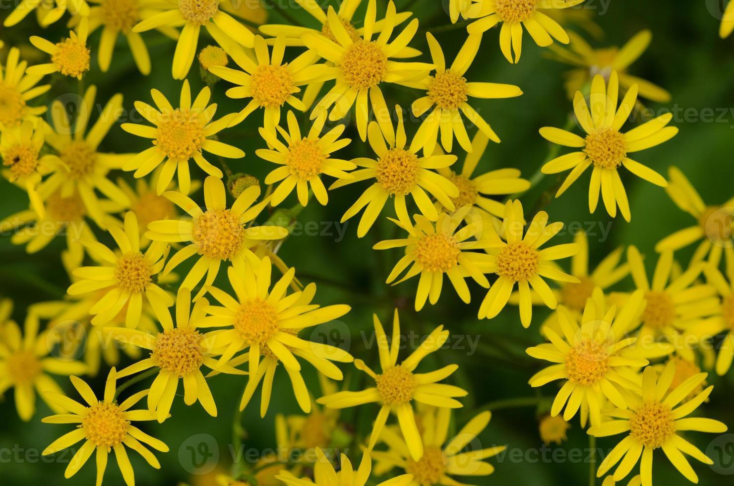 cacho de flores douradas de tasneira foto