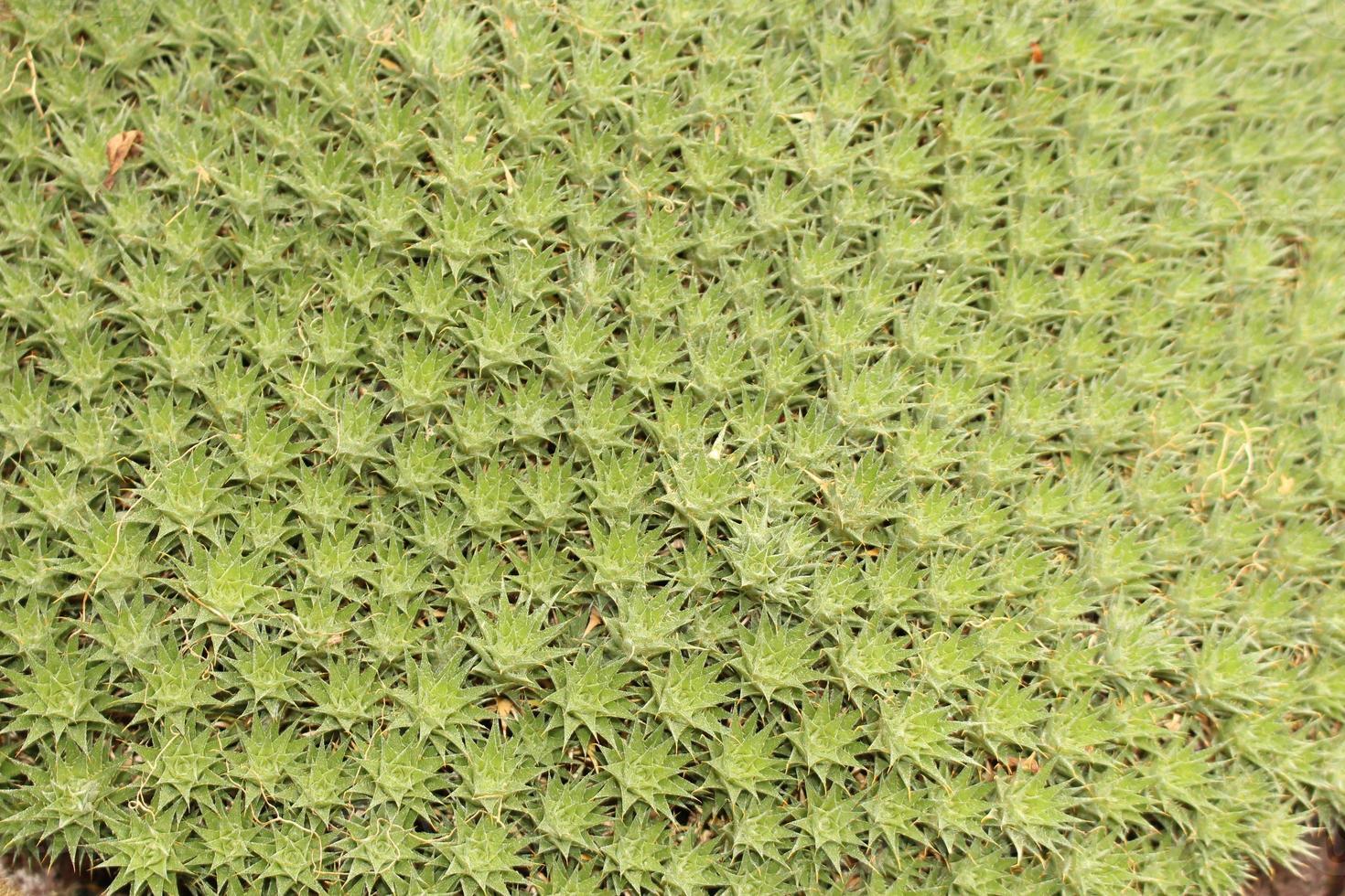 """planta """"abromeitiella brevifolia"""" foto"""