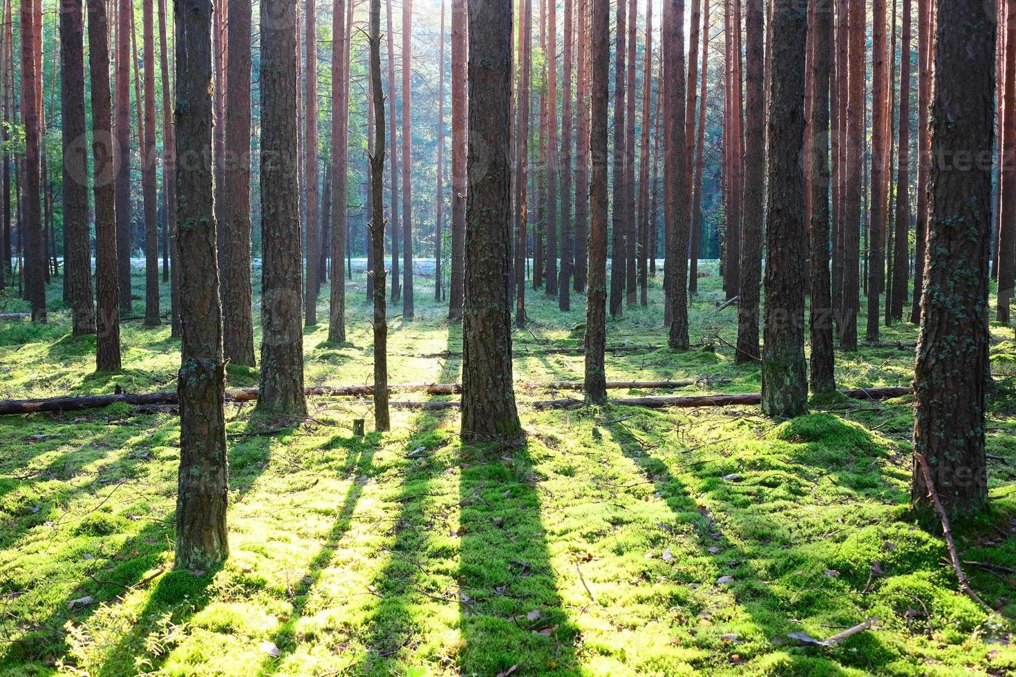 nascer do sol na floresta de pinheiros foto