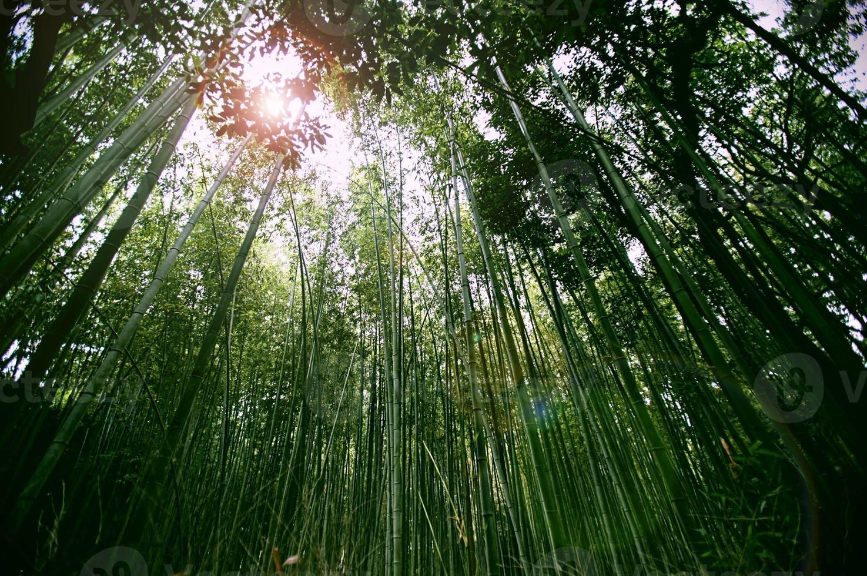 floresta de bambu kyoto foto