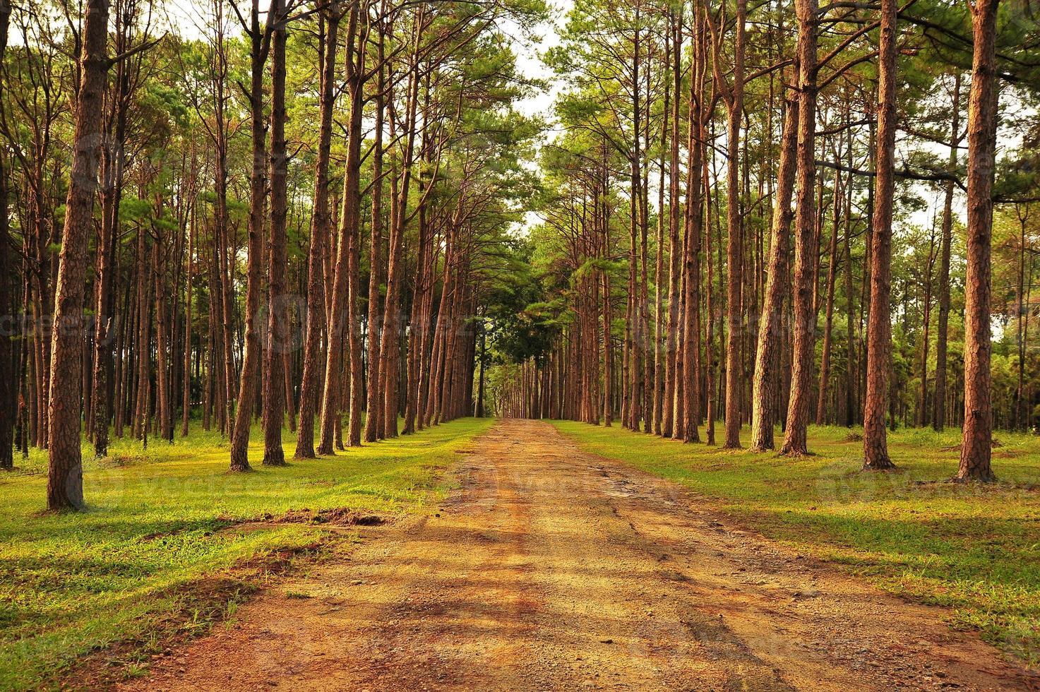 florestas de pinheiros de outono foto