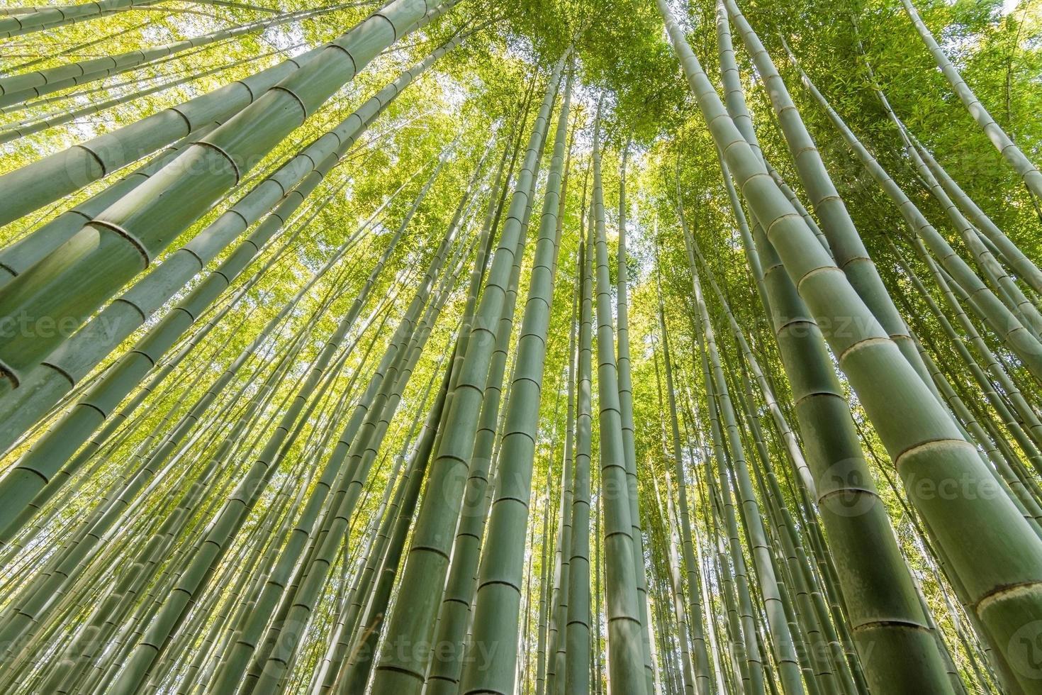 floresta de bambu em arashiyama foto
