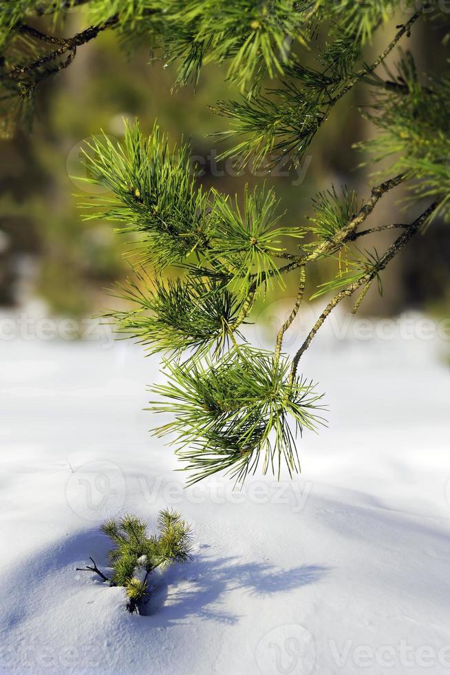 floresta de pinheiros foto