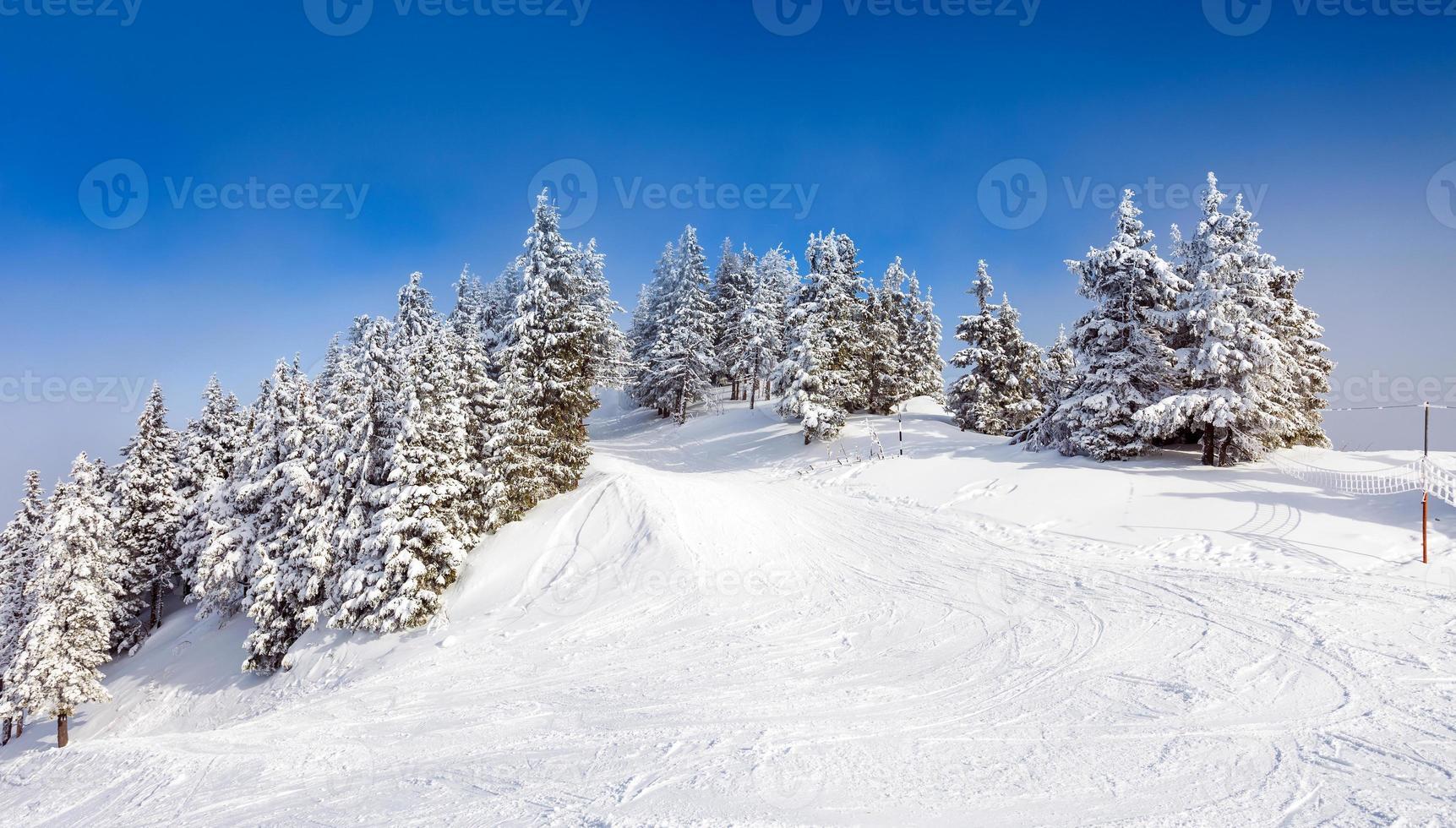 floresta de pinheiros coberta de neve foto