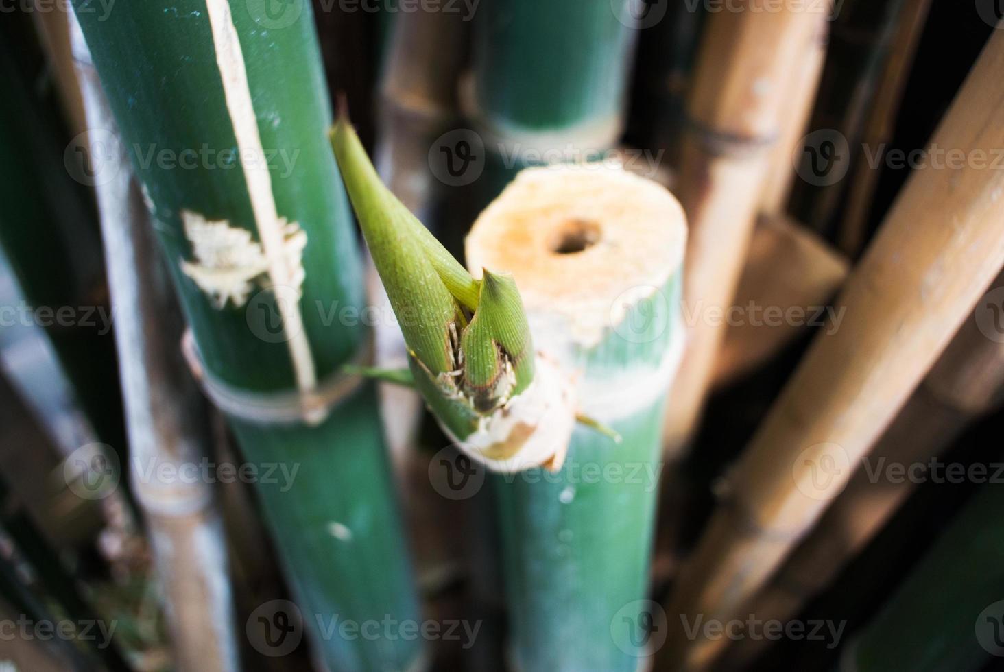 fundo de floresta verde de bambu foto
